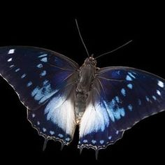 A blue-spotted charaxes butterfly at the Omaha Zoo (@theomahazoo). See @natgeo for a video that features this butterfly!