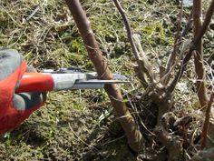 Pielęgnacja róż wiosną Winter Garden, Outdoor Power Equipment, Garden Tools, Gardening, Yard Tools, Lawn And Garden, Horticulture, Terraced Garden