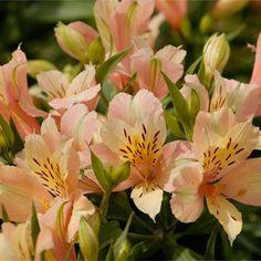 Inca Ice™ Alstroemeria Peruvian Lily Plant
