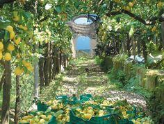 ogrody cytrynowe w Sorrento