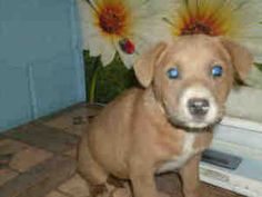 A921962, A921963, A921965 'LITTER OF PUPPIES' KERN SHELTER URGENT is an adoptable Labrador Retriever Dog in Bakersfield, CA. PLEASE SAVE ME. I AM CURRENTLY AT THE KERN COUNTY BAKERSFIELD ANIMAL SHELTE...