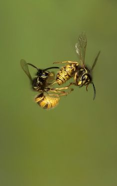 Wasps Fighting in Mid air by Dale Sutton, via 500px