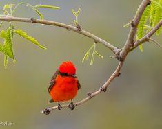 Pretty Birds, Beautiful Birds, Vermilion Flycatcher, Bird Template, Oro Valley, Flycatchers, Tiny Bird, Red Things, Arizona Usa