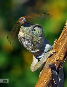 Eye see you... Lizard and dragonfly. !IEC