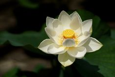 The Complete Story of the Lotus Flower | Nature - BabaMail