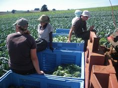 Working Wednesdays: Broccoli Harvesting in Moriarty, Tasmania.