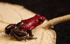 Andrean poison frog (Ranitomeya opisthomelas) transferring a tadpole on its back.