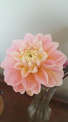 12 x Fresh Mixed Freesia bulbes tubercules-Perfect Cut fleurs d/'été-Facile à Cultiver