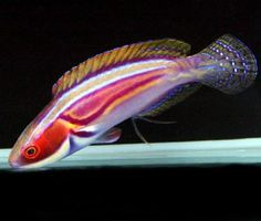 Labout's Fairy Wrasse