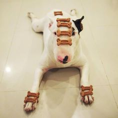 12 Reasons Why Bull Terriers Are The Most Dangerous Pets The Last One Is Horrible