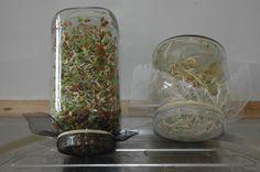 Kiemgroenten kweken Plantwerpen kiemen zaden