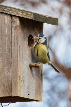 "Hard working mesange - / Photo ""Nesting Bluetit"" by Bryan Mansell (Meesje, Mésange) All Birds, Little Birds, Love Birds, Beautiful Birds, Blue Tit, Bird Boxes, Tier Fotos, Backyard Birds, Bird Watching"