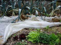 Les chicorées sont protégées tout l'hiver