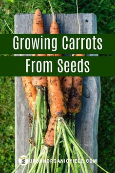 Learn more on how to grow carrots step-by-step. Use a container, pot raised bed or even bucket - carrots will grow in any of them. It is easy and DIY. Learn the best ways to start from seed. #GrowingCarrots #HowToGrowCarrots #VegetableGardening #Gardening #UrbanOrganicYield Growing Carrots From Seed, Growing Vegetables, Container Gardening, Gardening Tips, Vegetable Gardening, Raised Bed, Raised Garden Beds, Carrot Varieties, Big Backyard