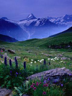 Alpine Flowers Beneath the Schreckhorn, Grindelwald, Bern, Switzerland