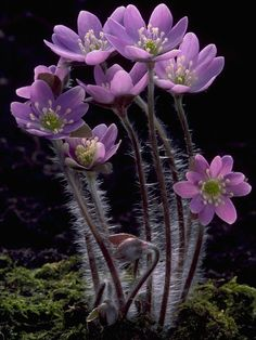 ~~Hepatica nobilis (Roundlobe hepatica) by Doug Sherman~~