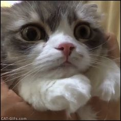 KITTEN GIF • Overly dramatic Kitten mesmerized by head rubs, haha these round eyes
