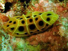 Reticulidia suzanneae (nudibranch)