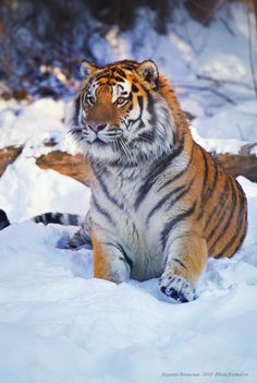 """Tiger Sat in The Snow: """"Wow! That looks interesting over there!"""""""