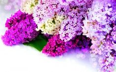 Preview wallpaper lilac, sidetrack, spring, glare