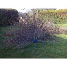 Peacock at Chodeston
