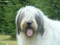 Group I - Ciobanesc Romanesc Mioritic Bobby, Dog Breeds, Foundation, Animals, Animales, Animaux, Animal, Foundation Series, Animais