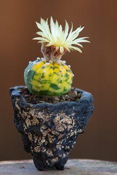 Astrophytum asterias variegata by ktvamp, via Flickr.  Plant, pot and shot by Keith Kitoi Taylor.