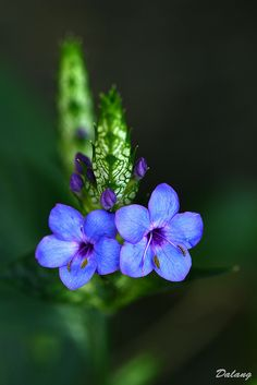 Little Blue Flowers - Nice Photo