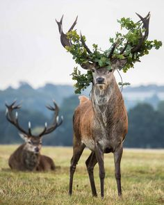🔥 During the annual rutting season, red deer shed the 'velvet' on their antlers to get ready to fight for a mate. The itching from the velvet falling away makes the deer rub their antlers on trees or in foliage which is how some of it will often be found Animals And Pets, Baby Animals, Funny Animals, Cute Animals, Beautiful Creatures, Animals Beautiful, We The Kings, Red Deer, Deer With Antlers