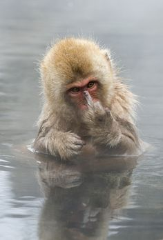 Japanese Macaque showing middle finger by Jari Peltomäki ''This young Japanese Macaque (Snow monkey) was showing his middle finger to me when I was photographing him bathing.''