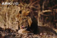 Asiatic lion licking paw © Anup Shah / naturepl.com