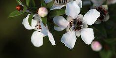 Olejek manuka � cudowny lek rodem z Nowej Zelandii