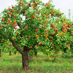 There are many advantages to planting fruit trees. Planting apple trees, cherry trees, peach trees, or nectarine trees will not only make your yard beautiful. Planting Fruit Trees, Fruit Plants, Fruit Garden, Prune Fruit, Apple Garden, Nature Plants, Palm Tree Pictures, Tree Images, Apple Harvest