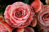 El blog de Los Peñotes: A todo color: las Begonias.