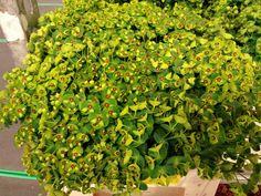 #Euphorbia #Martini; Available at www.barendsen.nl
