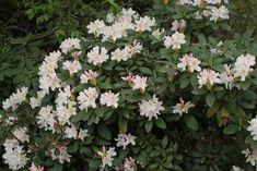 {2} rhododendron cunningham white - Google zoeken