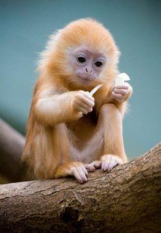 Queria tanto ter um macaco,mais é proibido:( ##tão lindo!