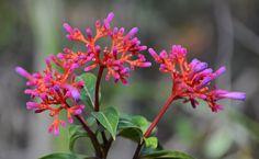 Figura 1: Palicourea marcgravii      A  Palicourea marcgravii , é a mais importante planta que causa morte súbita (RIET-CORREA, 2001).   E...