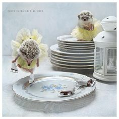 As far as pets go, it is the African pygmy hedgehog that is the most popular. These hedgehogs have a lifespan of around. Funny Hedgehog, Happy Hedgehog, Hedgehog Pet, Animals And Pets, Baby Animals, Cute Animals, Strange Animals, Cute Hamsters, Little Critter
