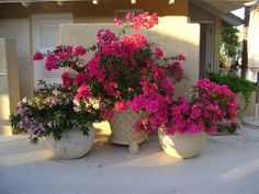 bougainvillea in pots Outdoor Pots, Outdoor Gardens, Container Plants, Container Gardening, Vegetable Gardening, Herb Garden Design, Pot Jardin, Pot Plante, Most Beautiful Flowers