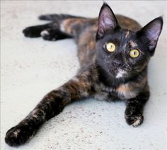 Hello, my name is Tally and I'm a sweet little girl looking forward to my new home.  I'm a bit shy, but once get I know you, you might find that whenever you go into another room I'm there too!  I'm not so much a lap cat but I love companionship, so if you think we'll suit each other, I'm here at Cairns Shelter.  My adoption fee includes me, my desexing, microchip and health check and makes sure I'm up to date with vaccinations, worming and flea treatments!