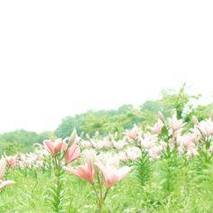 おはようMonday! 今週はお楽しみがたくさんで 気分的にウキウキです✨�� 今週も宜しくお願いします�� * * #世羅ゆり園 #ユリ #lily  #tv_flowers #loves_garden #flowerstalking #flowerstagram #はなまっぷ #lovely_airy_ #awesome_florals #9vaga_flowersart9 #7flowers_1day #splendid_lite #team_jp_flower #ig_discover_petal #IGersJP #whim_fluffy #flowermagic #simpley_perfection #thehub_soft #wu_japan #airy_pics #ふんわり写真部 #color_of_day #great_flowers #bella_pastels #softones_perfection #ig_flowers #rainbow_petals #bns_flowers…