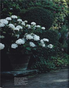 Beautiful white hydrangea - very French in a large pot.