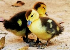 I want a baby duck!! :) Too cute