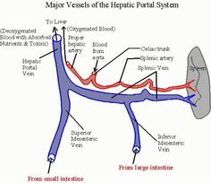 formation of portal vein - Google Search