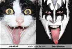This cat should find Paul Stanley, Ace Frehley and Peter Criss cats and start a band. Kiss Rock Bands, Kiss Band, I Love Cats, Cute Cats, Funny Cats, Paul Stanley, Funny Animal Videos, Funny Animal Pictures, Kiss Pictures