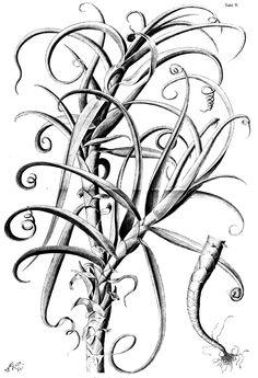 Bei Tillandsia circinalis ist die Sprossachse nicht gestaucht und die Blätter dienen als Ranken, indem sie sich einrollenJena 1888