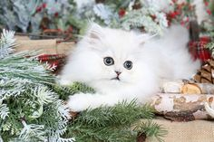 Luna - Currently Available - Ultra Rare Persian Kittens For Sale - (660) 292-2222 - Located in Northern Missouri (Shipping Available)Ultra Rare Persian Kittens For Sale – (660) 292-2222 – Located in Northern Missouri (Shipping Available)