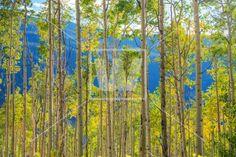 Green Yellow Aspen Trees