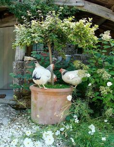 Great idea for inside the coop.tree in pot with chicken herbs at the base of the tree Country Farm, French Country, Country Life, Country Living, French Style, Potted Trees, Potted Garden, Potted Plants, Chickens And Roosters
